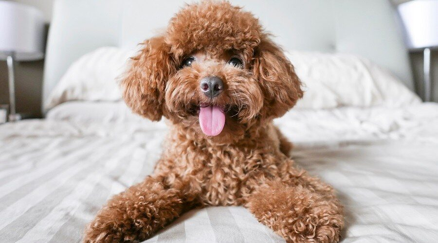 Miniature Poodles: What's Good About'Em, What's Bad About'Em